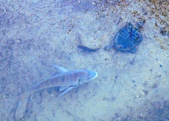 亀と黒鯛.jpg