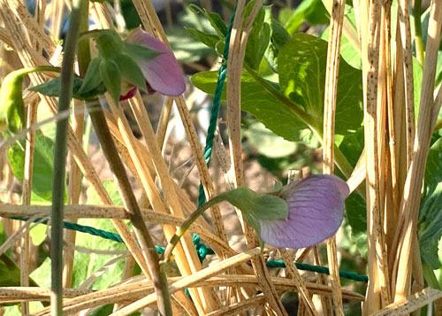 豆の花.jpg