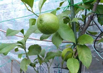 lemon20161019.jpg