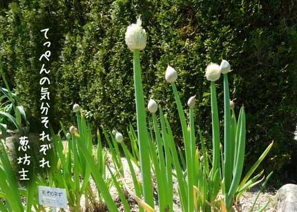 negibouzu3590.jpg
