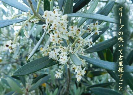olive4329.jpg
