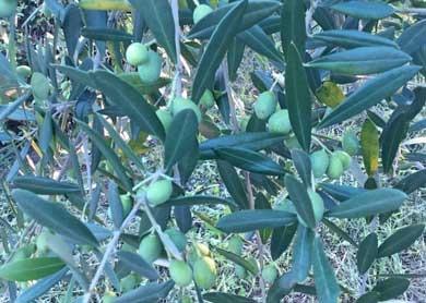 oliveIMG_0308.jpg