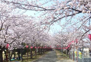 sakura20110410.jpg