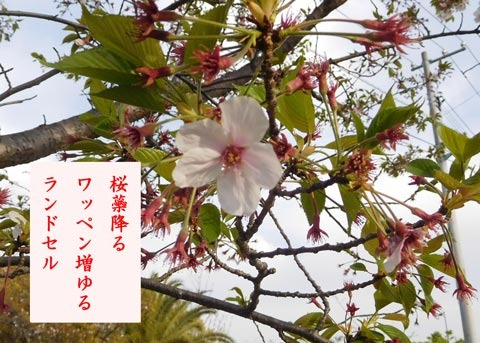 sakurasibehuru20190417.jpg